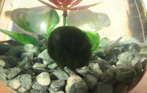 Viewpoint: Why You Should Get a Marimo Moss Ball